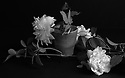 London, UK. 19.05.2018. Pale pink roses on a black background, V & A. Photograph © Jane Hobson.