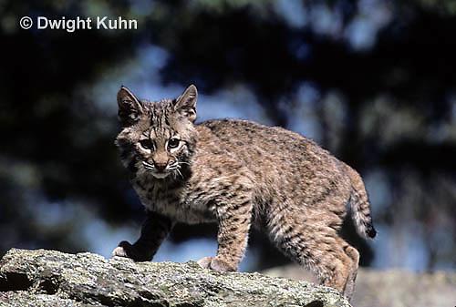 MA26-090z  Bobcat - young - Felis rufus