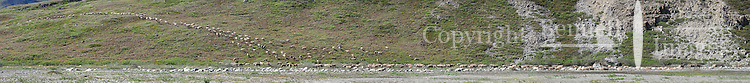 A herd of caribou heads up the bank from a gravel bar in the Hulahula River Canyon on a summer day in Alaska's Arctic National Wildlife Refuge. STITCHED PANORAMA