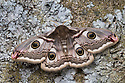Emperor moth female {Saturnia pavonia} Peak District National Park, UK. May.