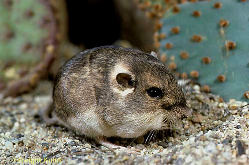 MU31-068b  Silky Pocket Mouse - Perognathus flavus