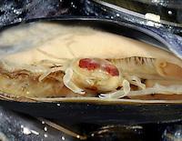 Pea Crab - Pinnotheres pisum