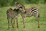 Two Grant's zebras nuzzle in Ngorongoro Crater, Tanzania.