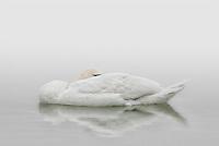 A mute swan sleeping in early morning mist