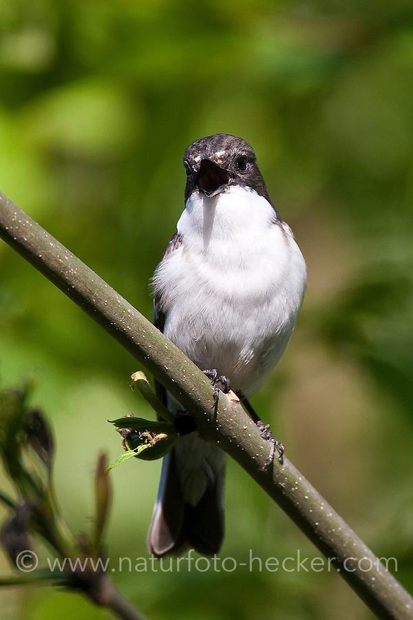 Trauerschnäpper, Trauer-Schnäpper, Trauer-Fliegenschnäpper, Fliegenschnäpper, singendes Männchen, Ficedula hypoleuca, Pied Flycatcher, Gobemouche noir