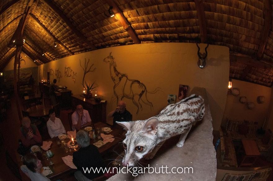 Common Genet (Genetta genetta) in restaurant of Ndutu Lodge.  Ngorongoro Conservation Area, Tanzania.
