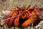 Hermit crab (Dardanus megistos) on sandy bottom.