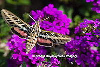 04011-00207 White-lined Sphinx moth (Hyles lineata) on Homestead Purple Verbena (Verbena canadensis 'Homestead Purple'), Marion Co. IL