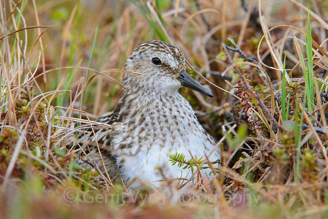 Semipalmated Sandpiper (Calidirs pusilla) brooding newly hatched chicks on the nest. Yukon Delta National Wildlife Refuge. June.