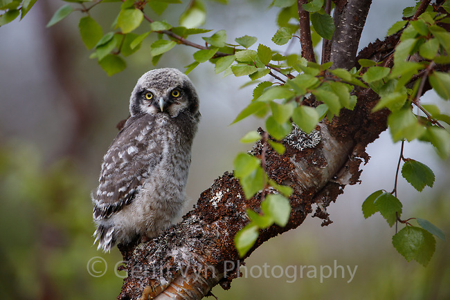 Northern Hawk Owl (Surnia ulula) fledgling. Varanger, Norway. June.