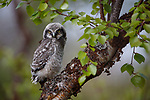 Northern Hawk Owl (Surnia ulula) fledgling. Varanger, Norway. June.