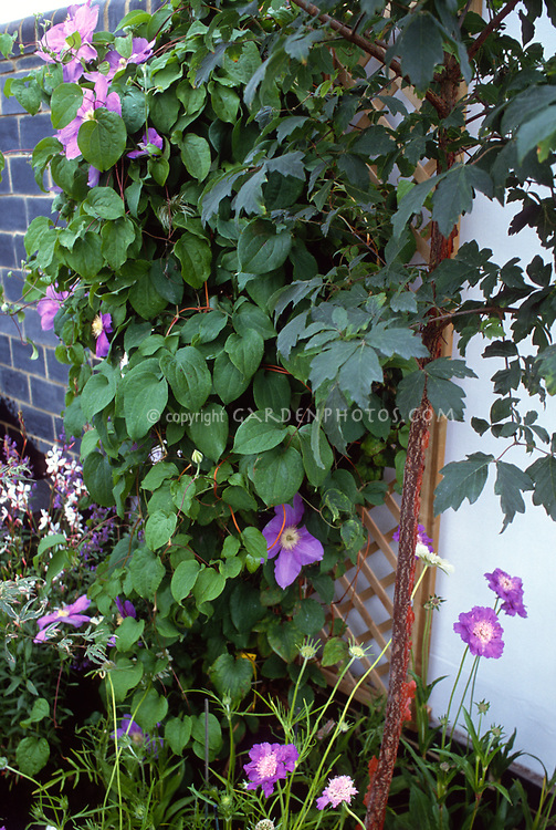 Clematis climbing a wooden trellis attached to a wall, supported vine