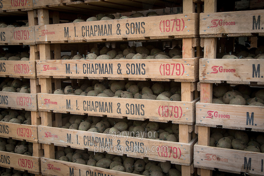 Chitted desiree seed potatoes in chitting trays ready for planting- April