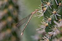 338630010 a wild female springwater dancer argia plana perches on a cactus plant near empire creek las cienegas natural area santa cruz county arizona united states