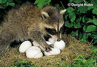 MA22-008x  Raccoon - young raccoon exploring, finding eggs in nest - Procyon lotor
