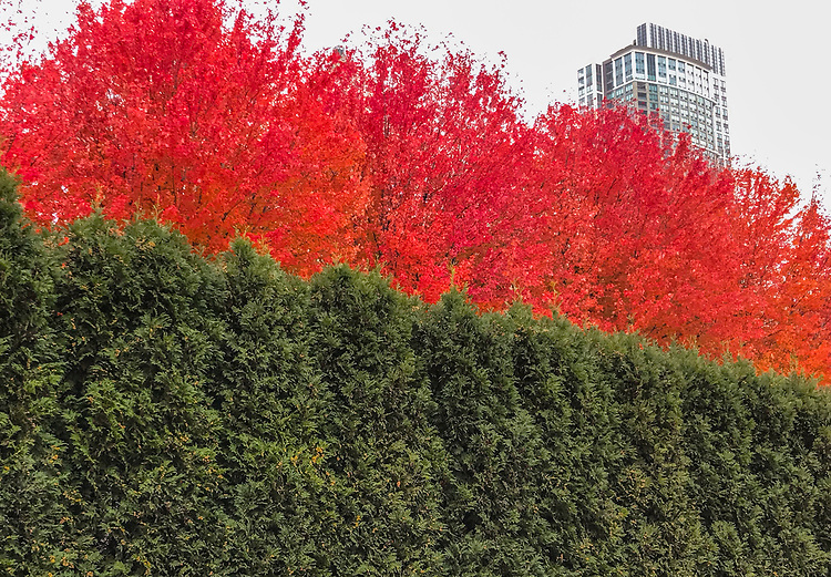 Fall colors in the Lurie Garden at Chicago's Millennium Park. (Photo by Jamie Moncrief) (DePaul University/Jamie Moncrief)