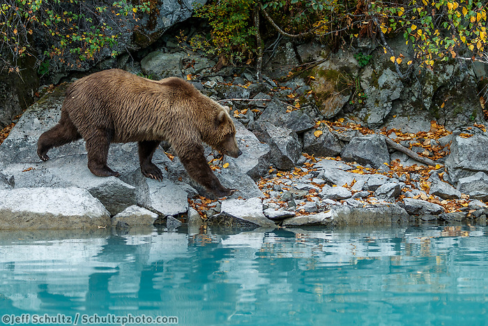 Fall landscape of grizzly bear walking on shore rocks at Crescent Lake in Lake Clark National Park, Alaska<br /> <br /> Photo by Jeff Schultz/SchultzPhoto.com  (C) 2018  ALL RIGHTS RESERVED<br /> <br /> 2018 Bears, Glaciers and Fall Colors Photo tour/workshop