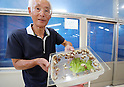 "May 23, 2016, Matsusaka, Japan - Toshihide Takase, a Japanese iron factory owner, shows baby Burgandy snails, which is designated as an endangered species in France at his cultivation fam ""Escargot farm"" in Matsusaka in Mie prefecture, central Japan on Monday, May 23, 2016. Takase suceeded to breed highest quality Escargot de Bourgogne (Helix Pomatia kind) in 1995 and now cultivating 200,000  rare snails and serving plates of homemade ""Escargot a la Bourguignonne"" (snails in garlic butter) to visitors at his farm.    (Photo by Yoshio Tsunoda/AFLO) LWX -ytd-"