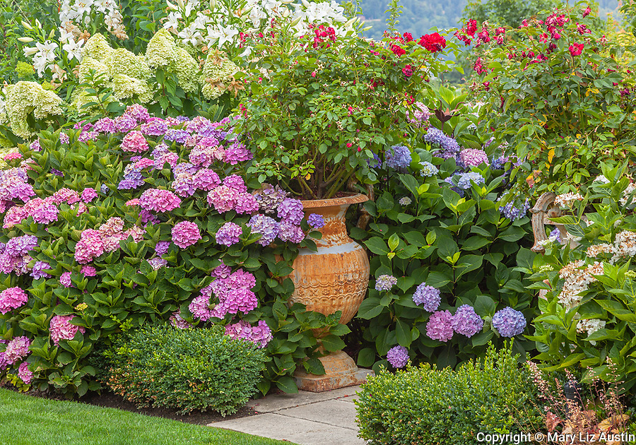 Vashon-Maury Island, WA: Potted urns in a perennial garden featuring hydrangeas, roses, lilies and boxwood.