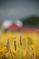 Soybeans drying on small farm near Westerville, Ohio.