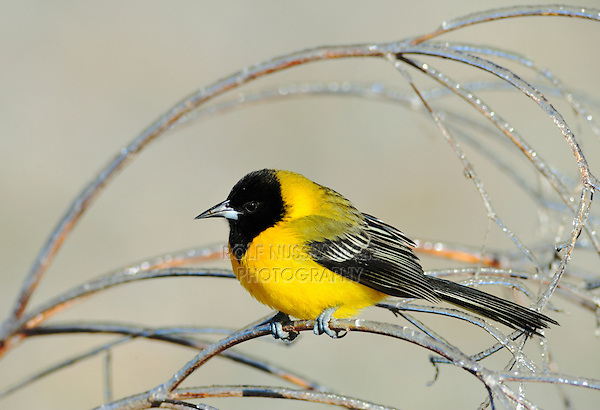 Audubon's Oriole (Icterus graduacauda), immature on icy branch, Dinero, Lake Corpus Christi, South Texas, USA