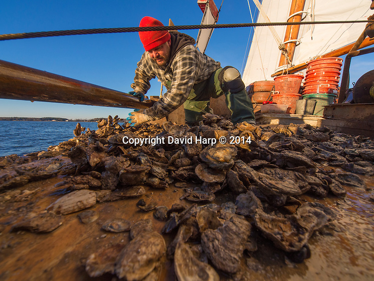 A deckhand aboard the skipjack Rebecca T. Ruark, shoves shell and undersized oysters overboard after culling out the live, legal-sized ones, on the Choptank River.