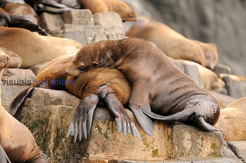 Australian Fur Seals (Arctocephalus pusillus), Tasmania, Australia