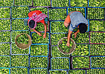 Workers clean and sort over 100,000 bitter cucumbers as they crouch on top of the fruit.  Each crate contains around 20kg and the farmers move the healthiest looking ones to the top to entice prospective buyers.<br /> <br /> The fruit is popular across India and are also known as bitter melons.  Photographer Abdul Momin captured the photographs in Bogra in Bangladesh.  SEE OUR COPY FOR DETAILS.<br /> <br /> Please byline: Abdul Momin/Solent News<br /> <br /> © Abdul Momin/Solent News & Photo Agency<br /> UK +44 (0) 2380 458800