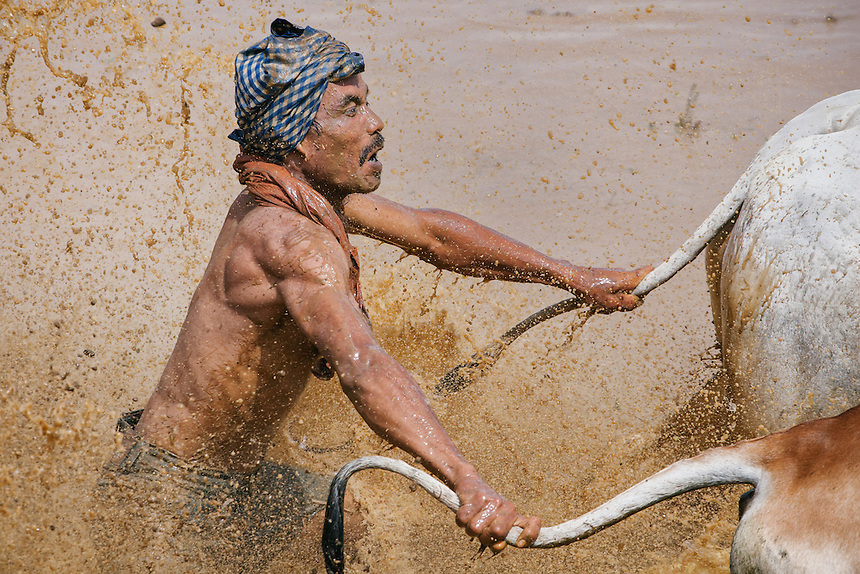 The rider race the rice field by holding on to the bulls tail.