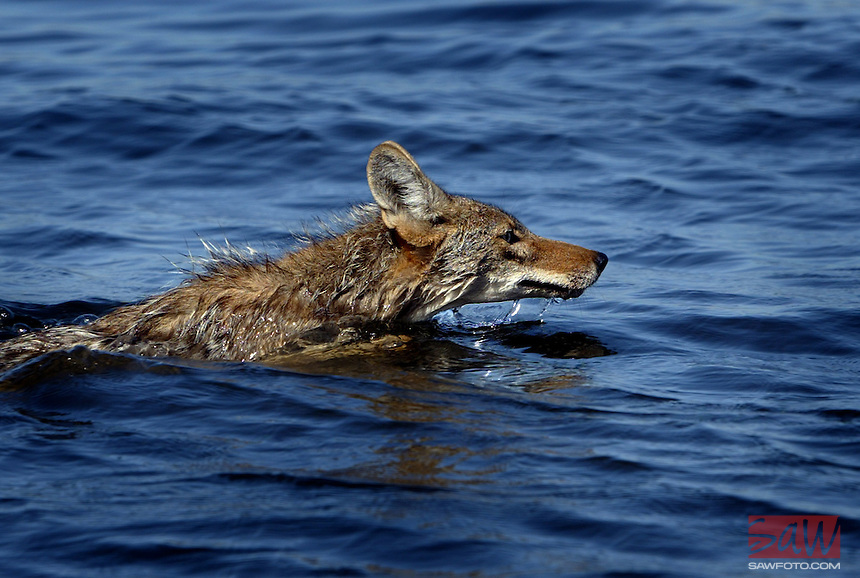 A coyote swims through flooded farmland from a levee break on the Middle River, near Holt, Ca. The levee break has turned 12,000 acres of farmland near Holt into a 12,000 acre lake. Story examines levees in CA and the danger they pose because they were mostly built sans engineering in the 19th century by simple farm folk who pushed dirt until there was a wall. Most are not regulated or maintained by any government agency. .