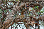Leopard (Panthera pardus) in thorn tree (Vachellia sp.), Chobe National Park, Botswana<br />