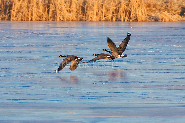Canada Geese flying over ice covered pond