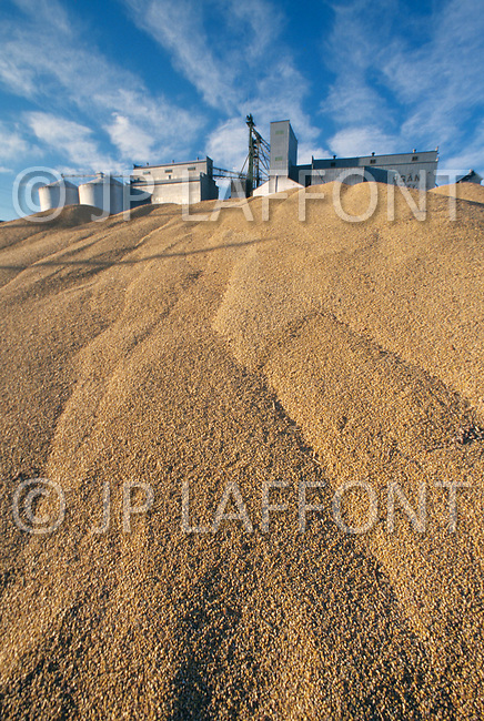 Montana, USA, September, 1978. Agriculture - wheat harvest near Chester area.