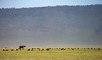 Ngorongoro Crater is home to a wide variety of large herbivores. It's remarkable seeing them clustered together like this.