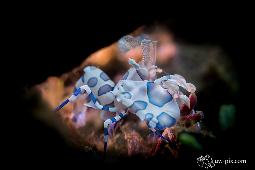 Harlequin shrimp feeding on a red seastar in Indonesia