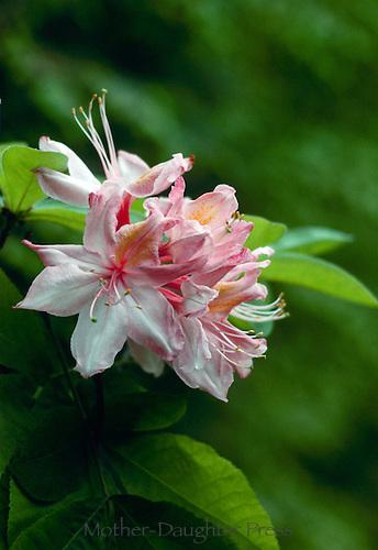 Deciduous azalea, Rhododendron Pentanthera. blooming,