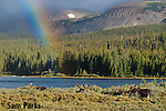 Bachelor herd of bull moose in velvet with rainbow. Roosevelt National Forest, Colorado.