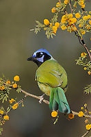 Green Jay (Cyanocorax yncas), adult on blooming Huisache tree (Acacia farnesiana),Dinero, Lake Corpus Christi, South Texas, USA