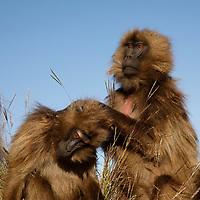 Female Gelada mnkeys allo-grooming.