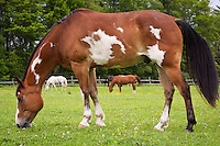 paint horse grazing in pasture
