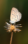 Blue Butterfly, Fuchrysops barkeri, side view, West Africa