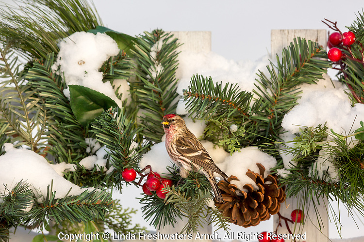 Common redpoll looking like part of the decorations on a backyard fence in northern Wisconsin.