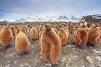 king penguin, Aptenodytes patagonicus, chicks, also known as 'Oakum Boys', Salisbury Plain, South Georgia, South Atlantic Ocean