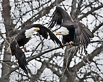 Bald eagles spar in the trees above Chilkat River, Chilkat Bald Eagle Preserve, Haines, Alaska