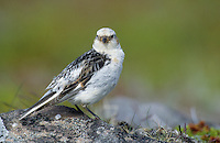 "Schneeammer, Weibchen, Schnee-Ammer, Ammer, Plectrophenax nivalis, Emberiza nivalis, Snow Bunting, ""snowflake"""