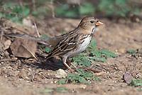 Harris's Sparrow - Zonotrichia querula - 1st Winter