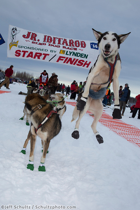 Andew Nolan lead dog jumps in anticipation of leaving the start line of the 2014 Jr. Iditarod Sled Dog Race from Happy Trails Kennel, Big Lake, Alaska<br /> Saturday February 22, 2014 <br /> <br /> Junior Iditarod Sled Dog Race 2014<br /> PHOTO BY JEFF SCHULTZ/IDITARODPHOTOS.COM  USE ONLY WITH PERMISSION