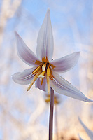 White Dogtooth Violet or Trout Liles growing in Devil's Den State Park.