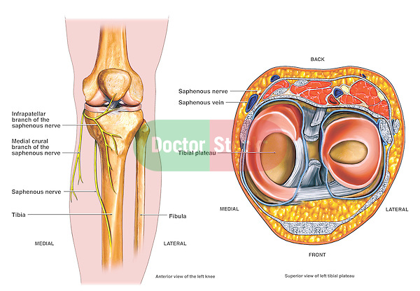 Anatomy Of The Saphenous Nerve Doctor Stock