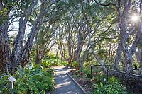 Tree lined pathway Quercus suber, Cork Oaks at San Diego Botanic Garden